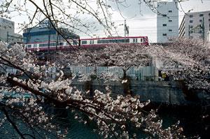 桜 / Kodak Kodacrome 64 Pro (PKR)