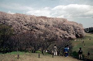 桜4 / Kodachrome 64 Pro