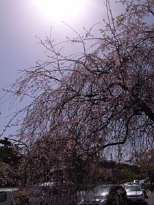 しだれ桜:GR DIGITAL、28mm相当、1/930sec、F8、ISO64、-0.3EV、プログラムAE