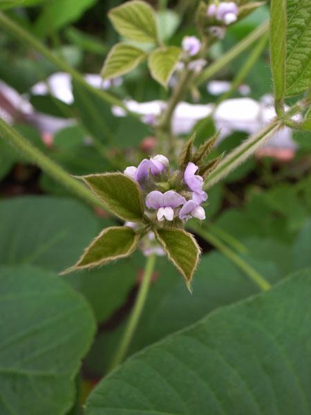 大豆の花:GR DIGITAL、28mm相当、1/143sec、F3.5、ISO64、-0.3EV、プログラムAE