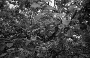 梅(水戸偕楽園1998年):Konica 現場監督28HG、28mm、Konica SEPIA400、プログラムAE、Nikon SUPER COOLSCAN 5000ED、Photoshop Elements 5.0でモノクロ化