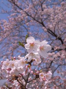 桜:GR DIGITAL、28mm相当、F7.1、1/440sec、ISO64、-0.3EV、プログラムAE、Photoshop Elements 5.0でリサイズのみ