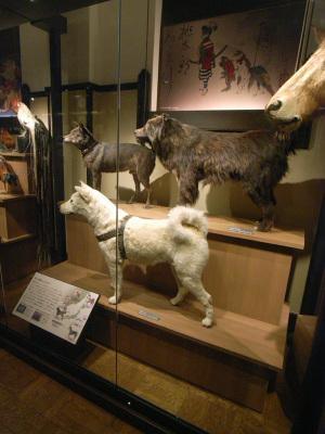 秋田犬の忠犬ハチ公の剥製と南極地域観測隊に同行した樺太犬のジロの剥製(国立科学博物館):GR DIGITAL、28mm相当、1/36sec、F2.4開放、ISO400、プログラムAE、-0.3EV