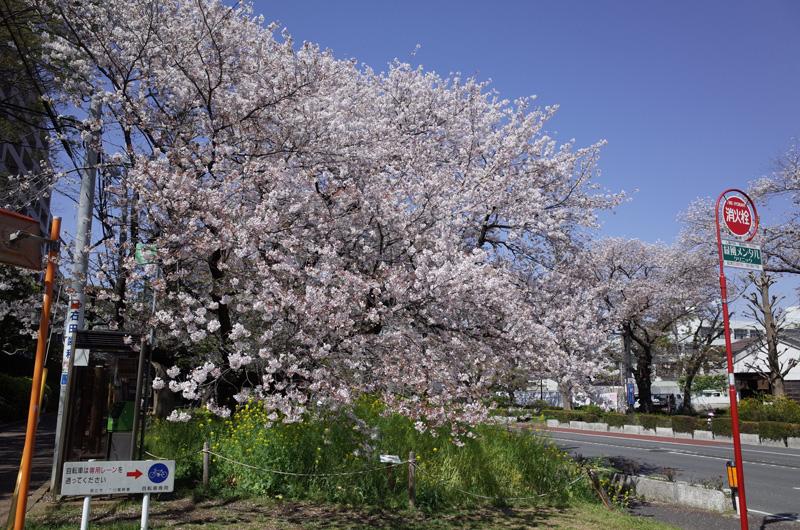 国立(くにたち)市・大学通りの桜:Ricoh GR、18.3mm(35mm版28mm相当)、F5.6、1/500秒、プログラムAE、ISO-AUTO(ISO 100)、AWB、画像設定:スタンダード、スポットAF