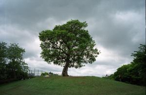 ゆずの「からっぽ」の木:Konica 現場監督28HG、Konica 28mm F3.5レンズ、プログラムAE、Konicaminolta New Centuria 400、Nikon SUPER COOLSCAN 5000ED