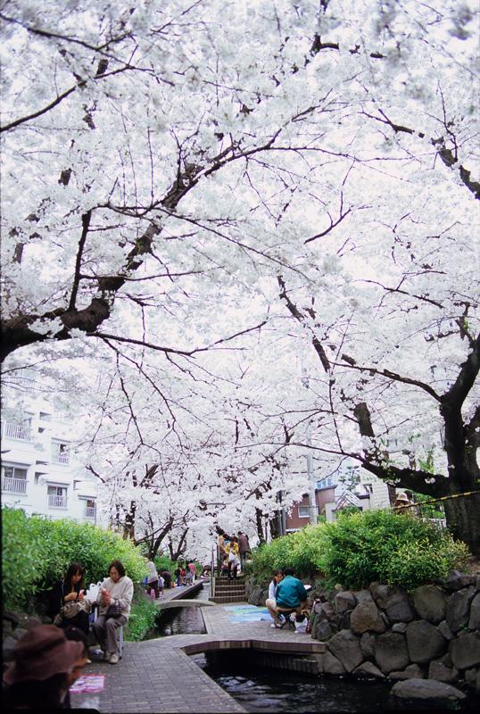 桜(故障による失敗例):Nikon F-501、Carl Zeiss Distagon T* 2/28 ZF、F5.6、1/125sec、富士Fortia SP(ISO 50)